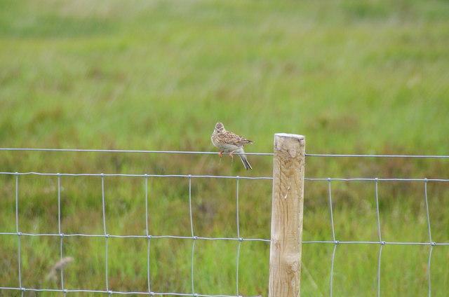Skylark sitting on a fence