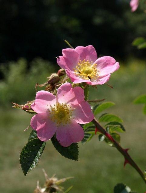 Roses, Netherclay Community Woodland