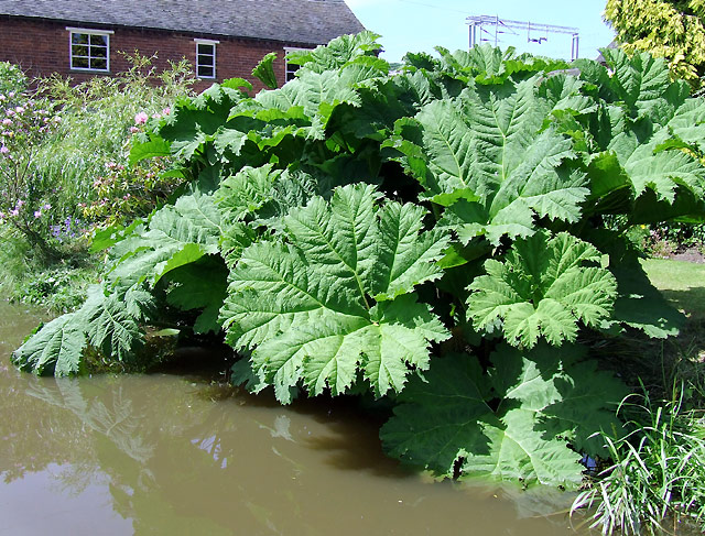 Gunnera Manicata by the Trent and Mersey Canal