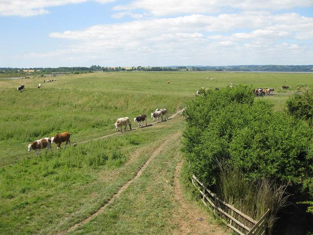 Cattle heading for Knott Pool