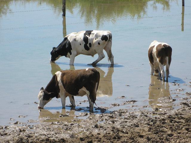 Cattle drinking from Knott Pool, Slimbridge Reserve