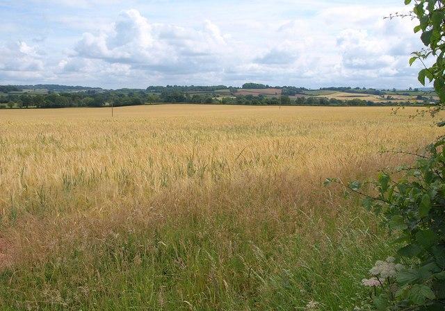 Barley near Greenham