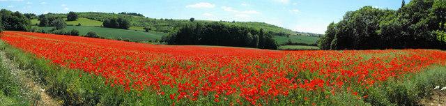 Coberley poppy field