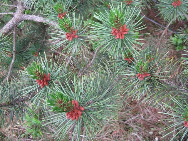 Young shoots and male flower buds of Pine