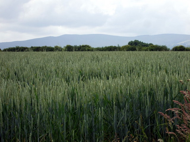Field of wheat with mountain view