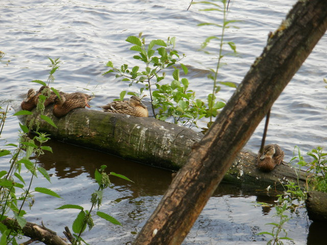 Ducks on a log in the water  -  River Tees