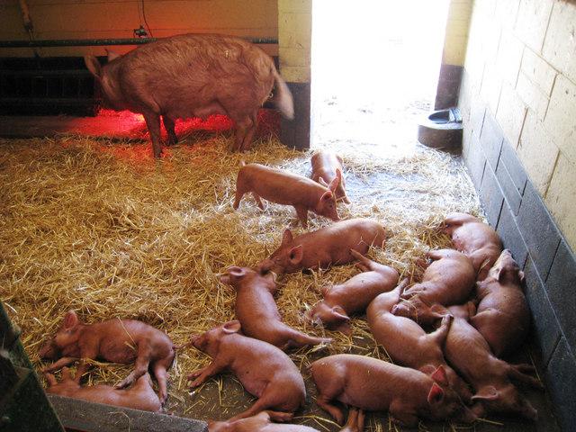 Fifteen Piglets