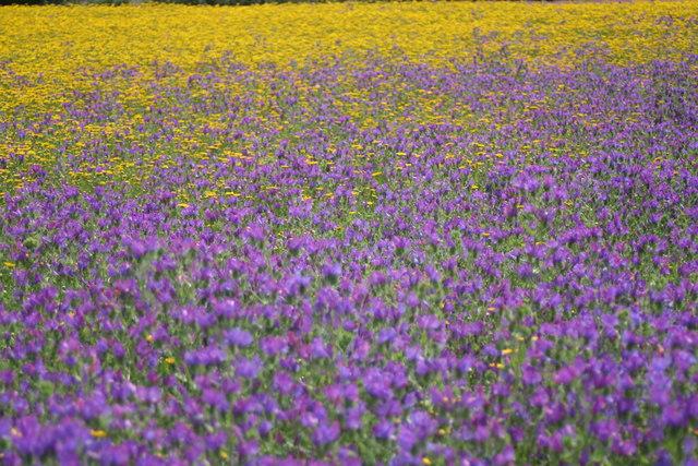 Purple Viper's Bugloss (Echium plantagineum)