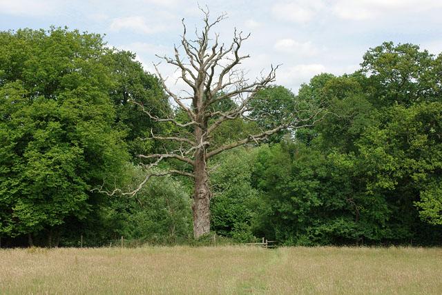 Dead tree, Hatchett's Shaw