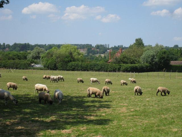 Sheep at Barling Farm