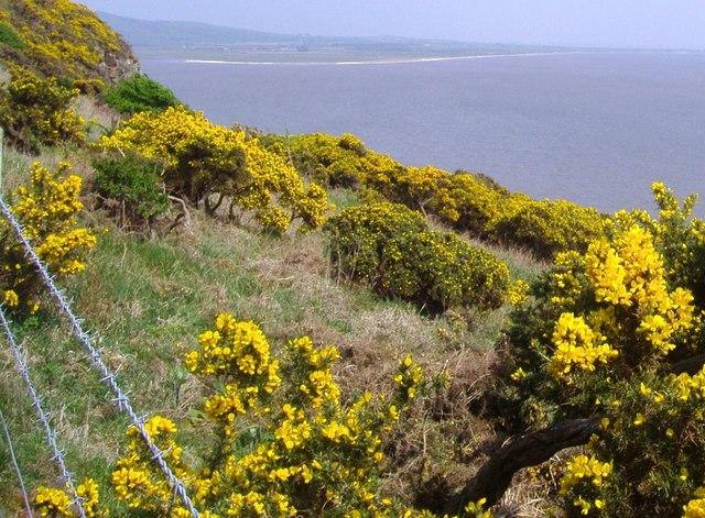 Gorse on the cliff edge