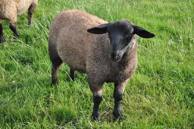 A sheep in a Sedbury field