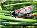 SJ7965 : Six-Spot  Burnet Moth by Seo Mise