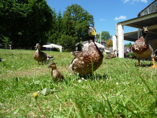 Canonteign Falls : Ducks & Duckling