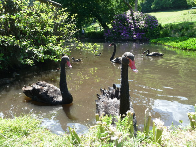 Canonteign Falls : Lily Lake & Swans
