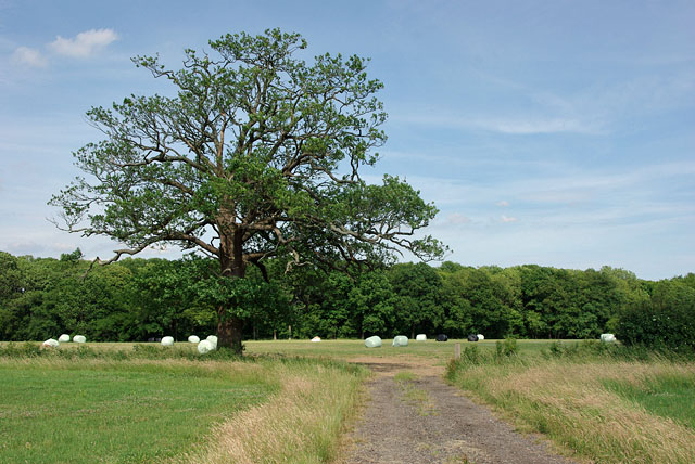 Oak by the track