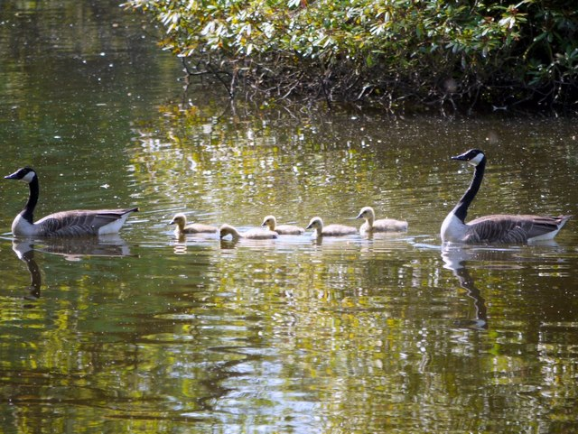 Family of Canada Geese, Bolam Lake