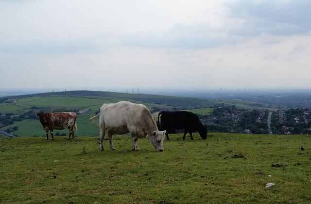 Cows on the top of Wharmton