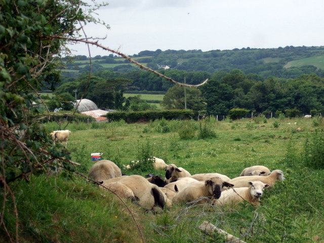 Sheltering sheep