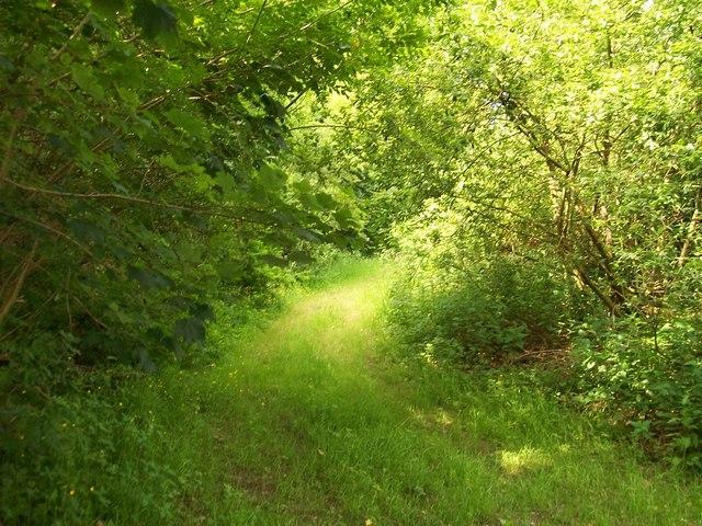Greenwood path in Coed Mynydd-Meilian