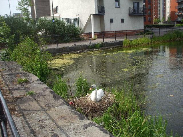 Swan's nest, Atlantic Wharf, Cardiff