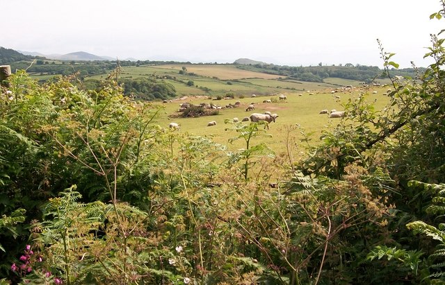 Sheep pastures above Cors Geirch marshland