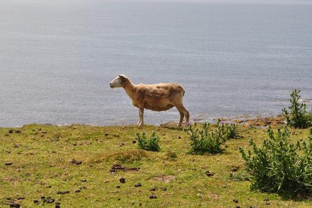 A shorn Sheep on the South West Coast Path