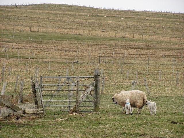 Ewe and lambs, Eòropaidh