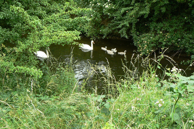 Swans on the Erewash