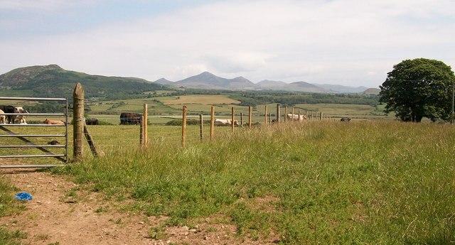 A  herd of cattle grazing near Cors yr Hafod