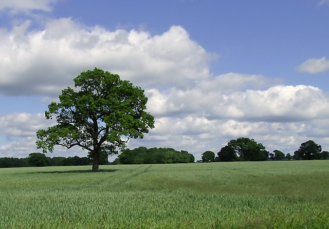Wheat field near Congerstone, Leicestershire