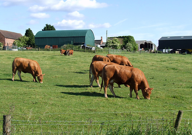 Cattle grazing near Market Bosworth, Leicestershire