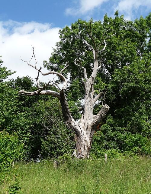 Dead tree, West Wickham