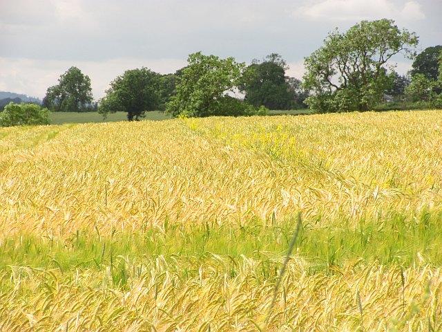 Barley, Brotherstone