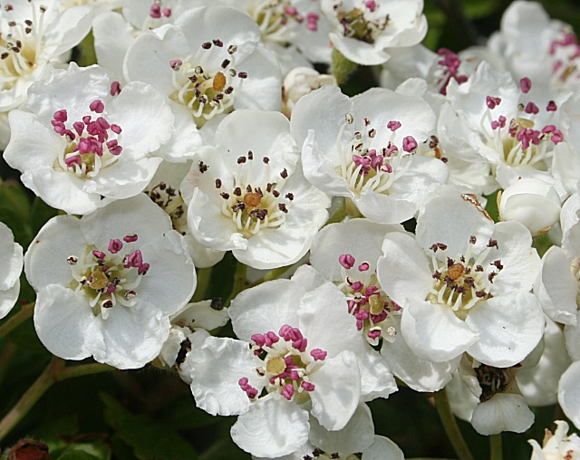 Hawthorn Blossom (Crataegus monogyna)