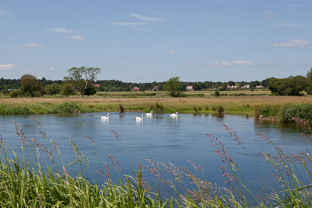 Swans on River Avon
