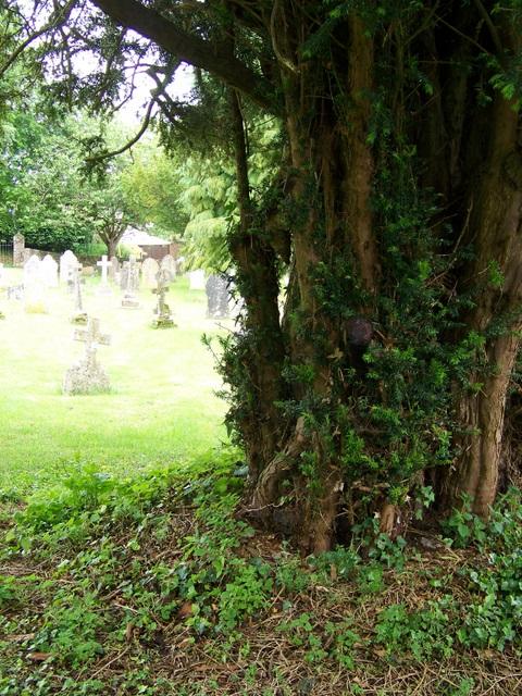 Yew tree, All Saints Church