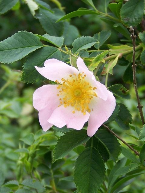 Dog Rose (Rosa canina), Martin Down