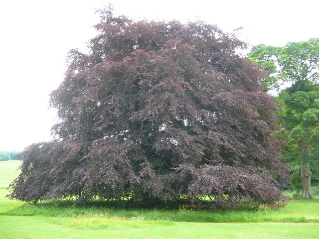 Copper beech on the Carberry Estate