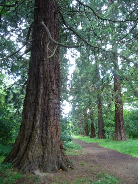 Giant redwoods on the Carberry Estate