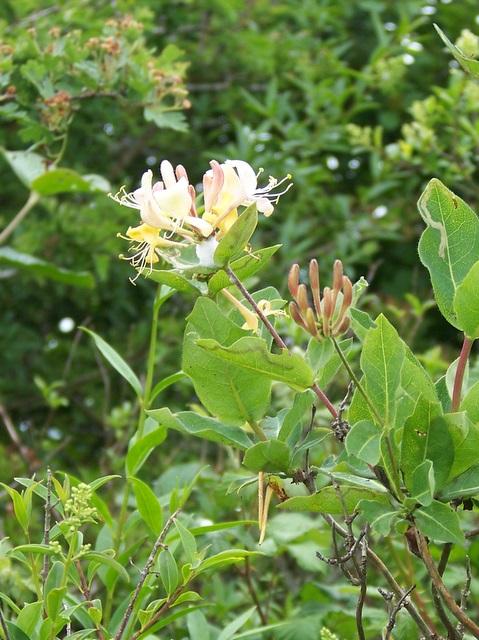 Honeysuckle (Lonicera periclymenum)
