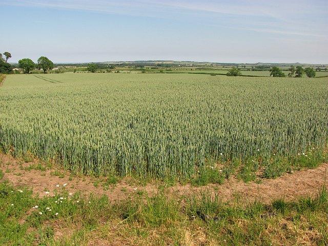 Wheat, Hilton