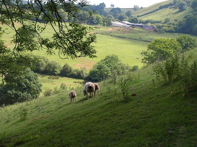Sheep rears near Week Farm