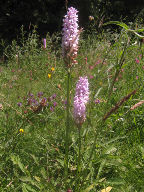 Pair of Common Spotted Orchids