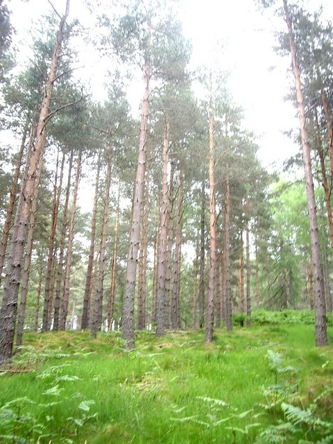 Tall conifers in Sluie Woods