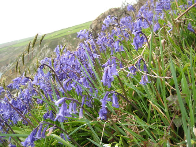 Bluebells above Porthguarnon