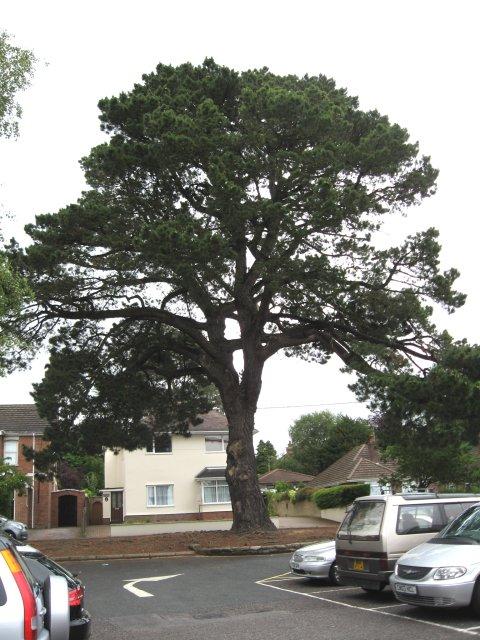 Broadstone's Monterey Pine