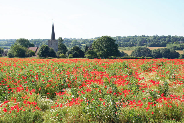 Poppies in a field at Barming