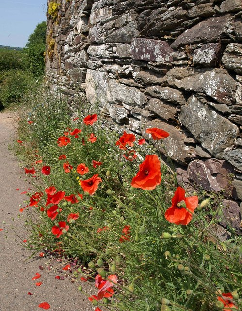 Poppies, Capton