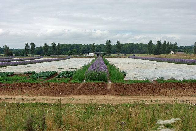 Market gardening, Poling